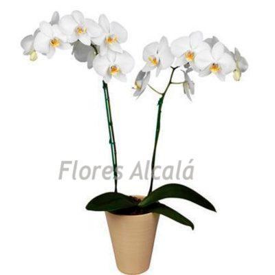 Orquidea Básica Envuelta con Papel  acorde al color de la planta